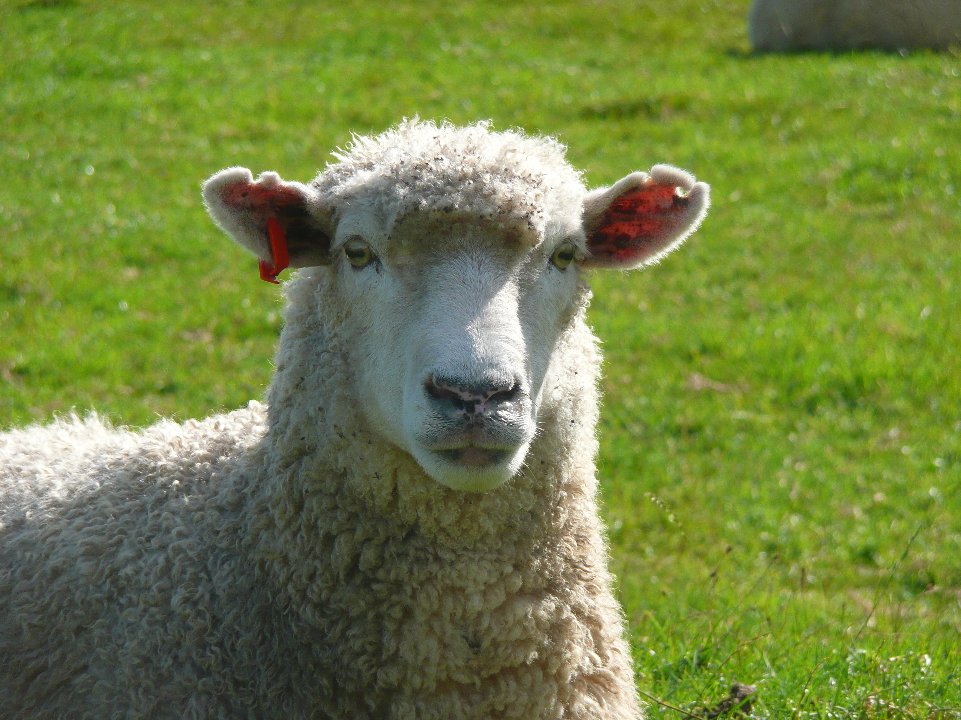auckland_sheep